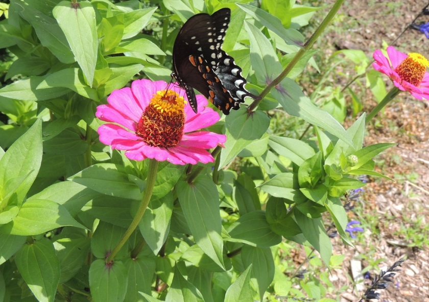 zinnia.blackswallowtail