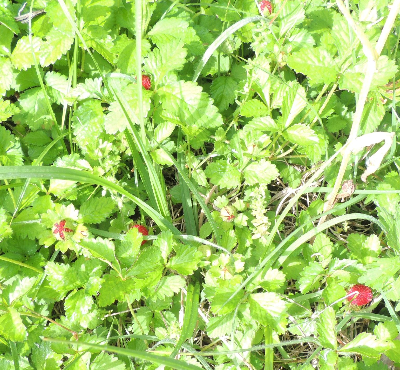 indianstrawberries