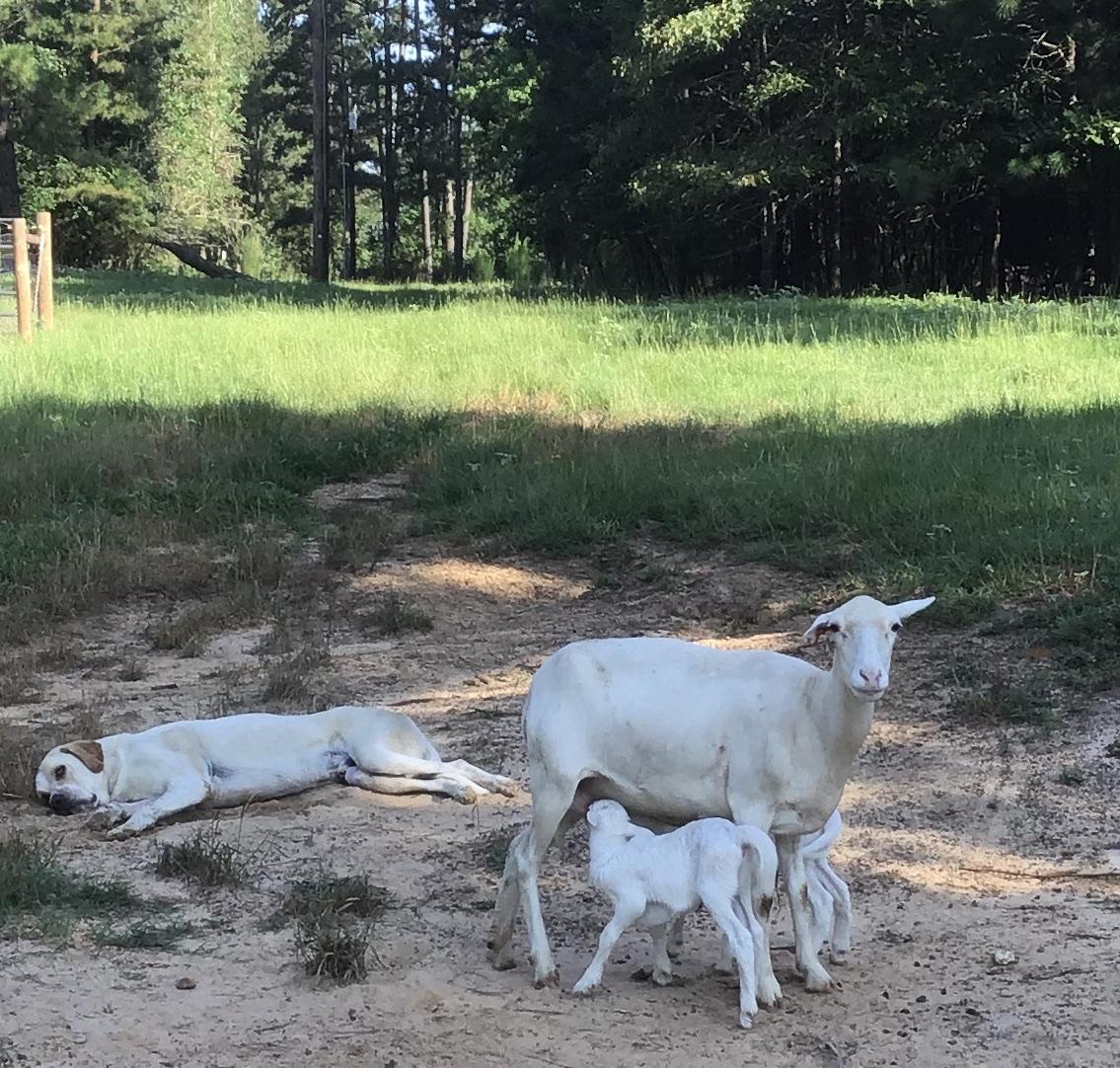 Milking Mamas, Busy asBees